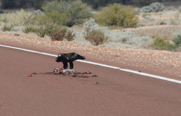 Wedgetail eagles are an important part of the road cleaning cycle.