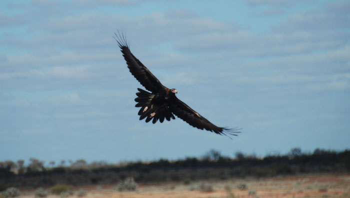 Massive wingspan of the Wedgetail Eagle.