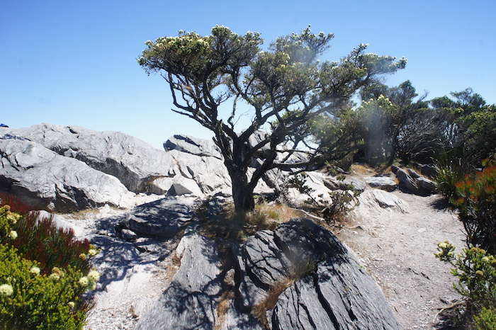 Gnarly tree on the top of Bluff Knoll.
