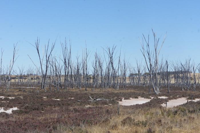 Dead trees on salt pan.