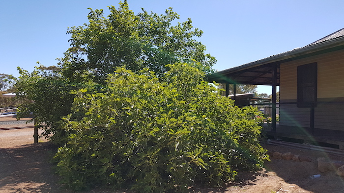Mulberry trees with full crop of fruit at Albert Facey Homestead in Wickepin.