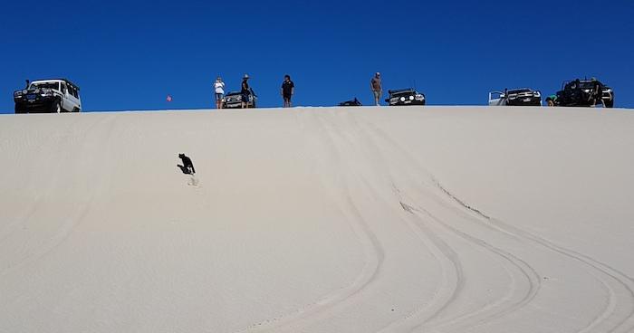 Lexie the kelpie climbs the dune.