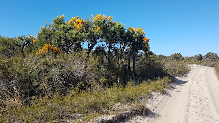 Nuytsia floribunda on Minarup Track.