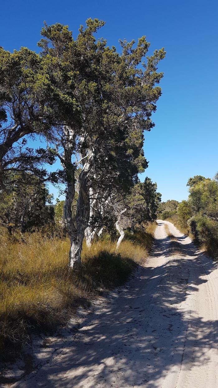 Melaleucas on Minarup Track.