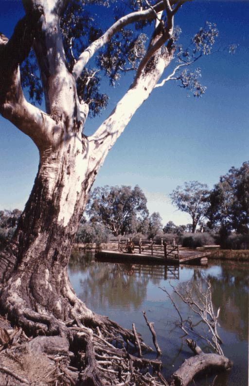 A beautiful old river gum near Bourke.