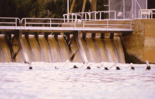 Pelicans feeding below Lock 9.