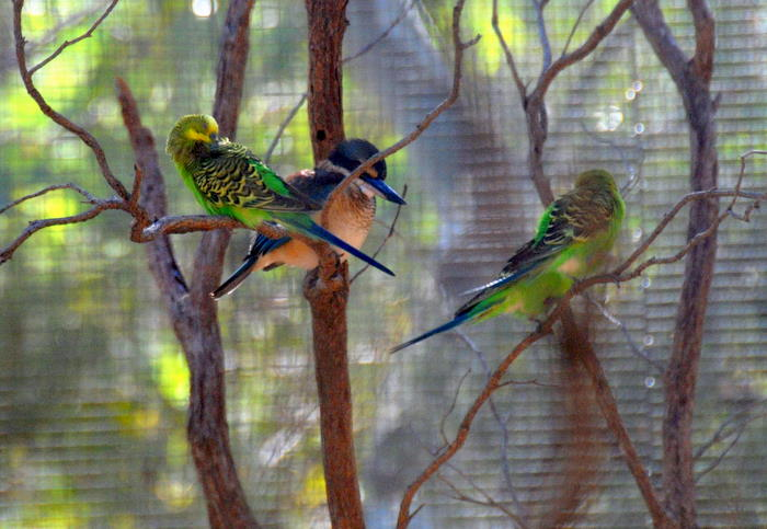 Budgerigars and kingfisher. Budgerigars are parakeets that can sometimes be see in flocks numbering tens of thousands.