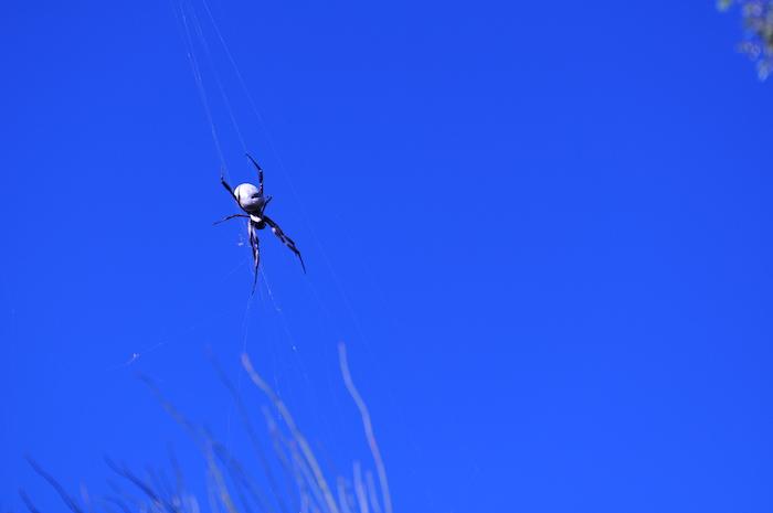 Orbweaver spider at Kokerbin Rock.