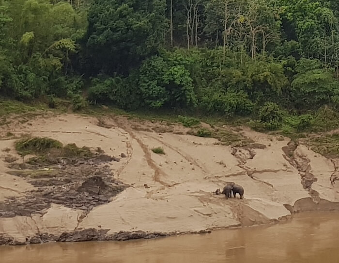 Elephants on the southern bank at Pak Beng.