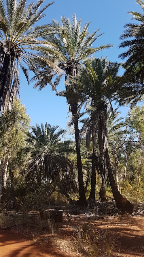 Date palms at Millstream Homestead.