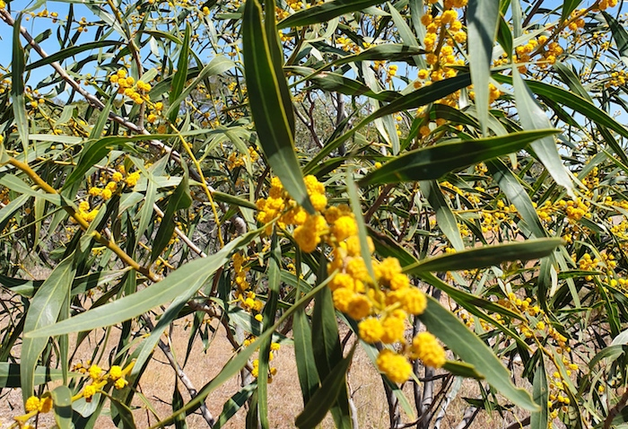 Acacias in flower at Burracoppin Well.
