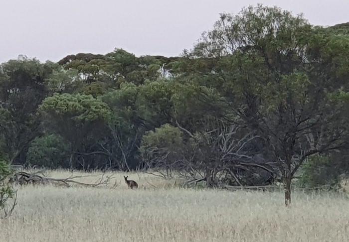Early morning kangaroo at Mindebooka.