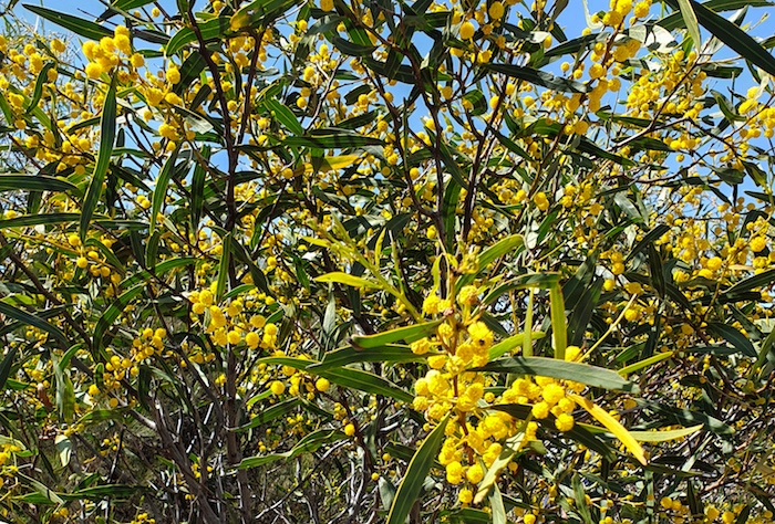 Acacias in flower at Moorine Rock.