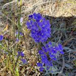 Blue flowers at Totadgin.