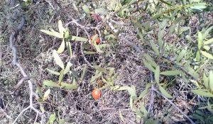 Quandong in fruit at Totadgin Rock.