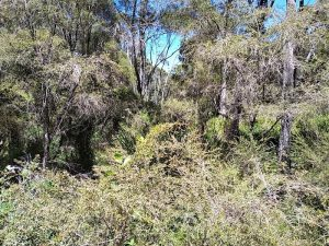 Warren River cedar or juniper myrtle (Taxandria juniperina)