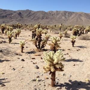 Cholla Cacti.