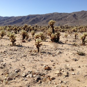 Cholla Cacti