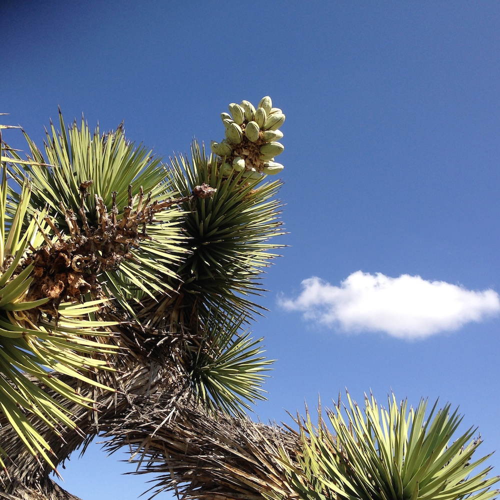 Fruiting Yucca.