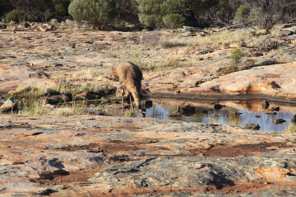 Emus came in to drink late in the afternoon.