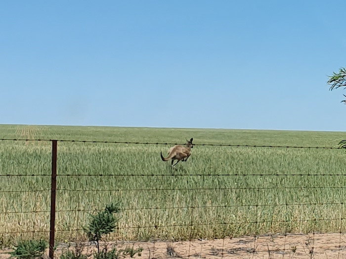 Kangaroo in paddock.